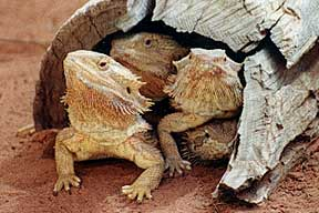 Alice Springs Reptile Centre - Lismore Accommodation