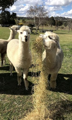 Clearview Alpacas - Lismore Accommodation