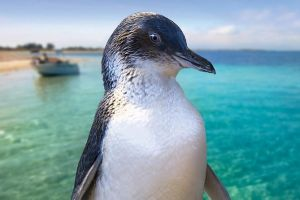 Full-Day Penguin Island  Fremantle Town - Lismore Accommodation