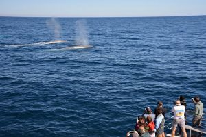 Blue Whale Perth Canyon Expedition - Lismore Accommodation