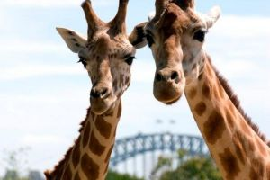 Sydney Harbour Ferry with Taronga Zoo Entry Ticket - Lismore Accommodation